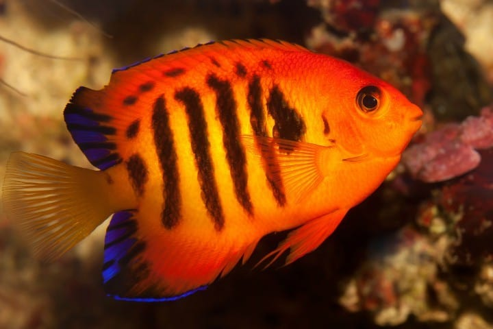 Flame angelfish reef safe