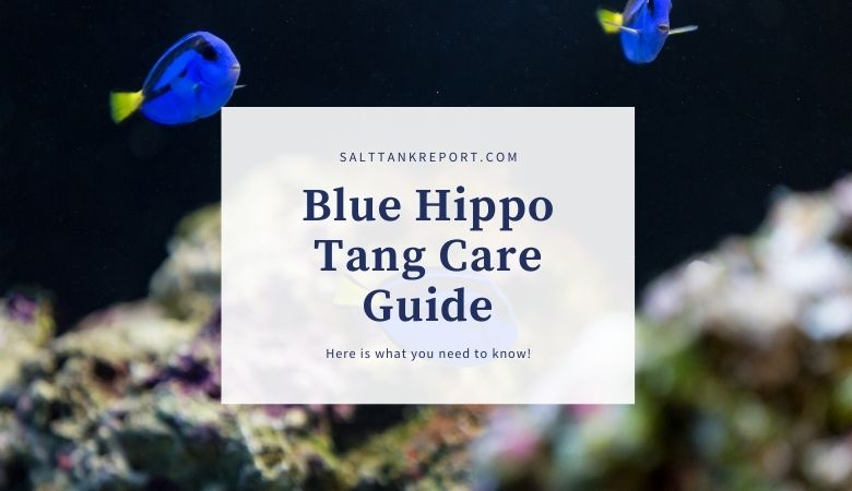 Hippo tang care guide