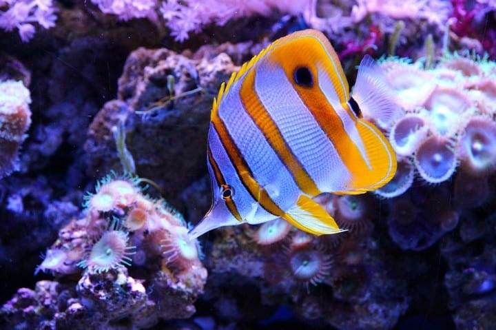 butterfly-fish-not-reef safe
