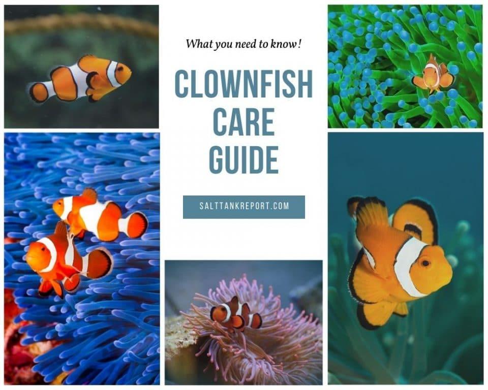 clownfish care guide