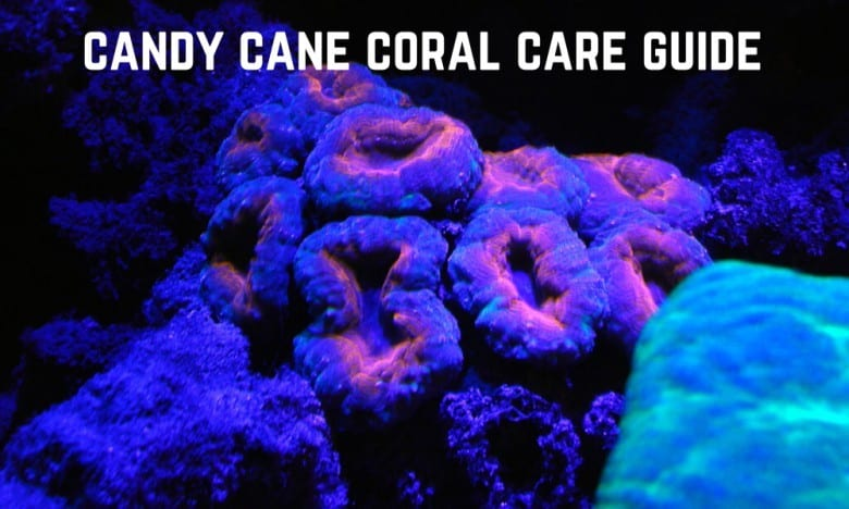 candy cane coral care guide