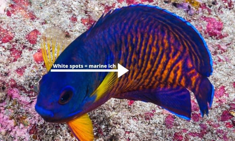coral beauty marine ich