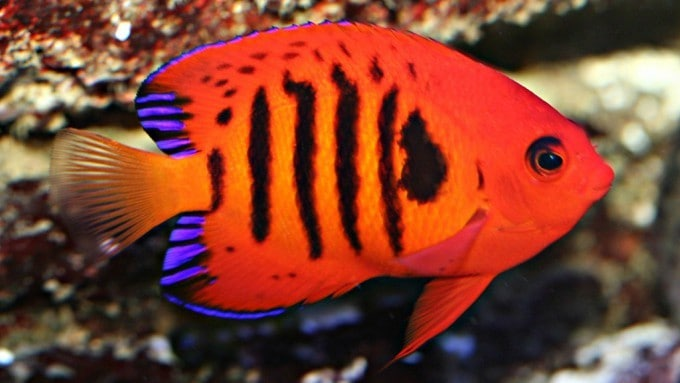 Flame Angelfish: Everything You Could Want To Know 1