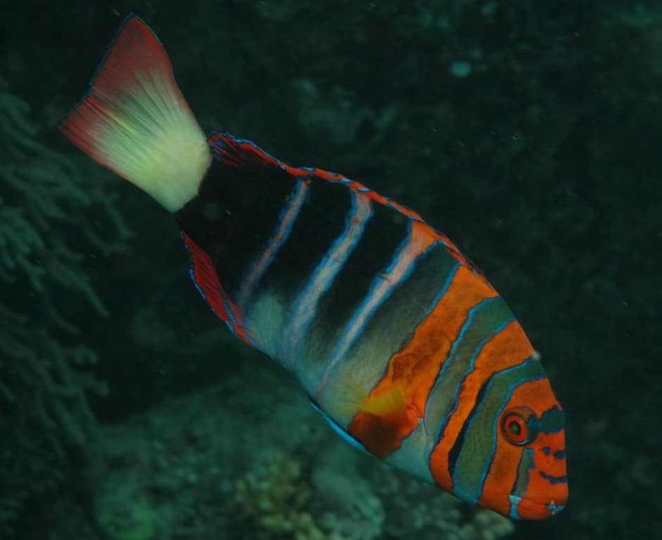 Large Reef Safe Fish (Your Corals Will Be Fine With These) 5