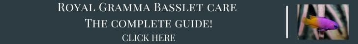 royal gramma basslet care guide