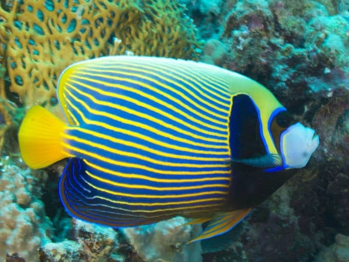Emperor Angelfish Care