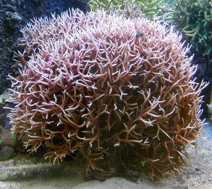 7 SPS Corals That Love High Water Flow
