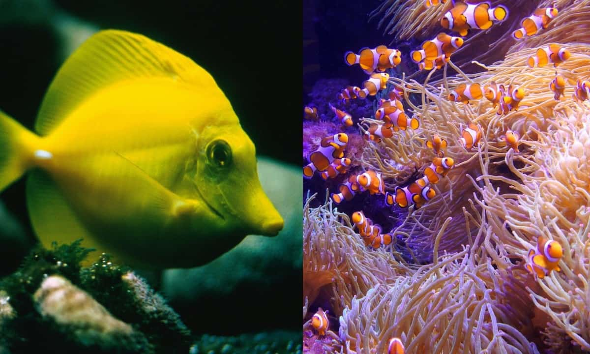 do yellow tangs get along with clownfish