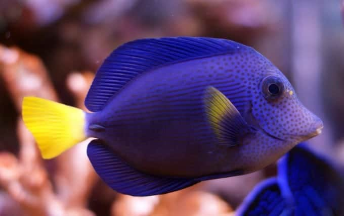 purple tang care guide