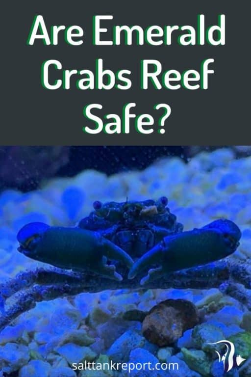Are Emerald Crabs Reef Safe? 1