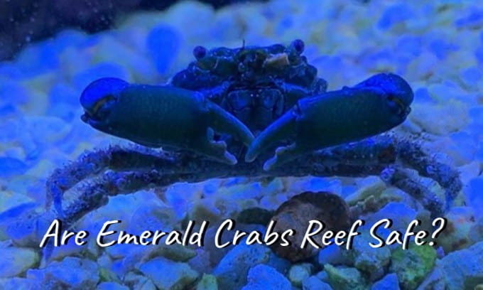 are emerald crabs reef safe