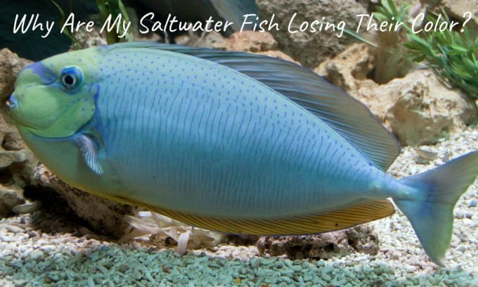 Why Are My Saltwater Fish Losing Their Color?