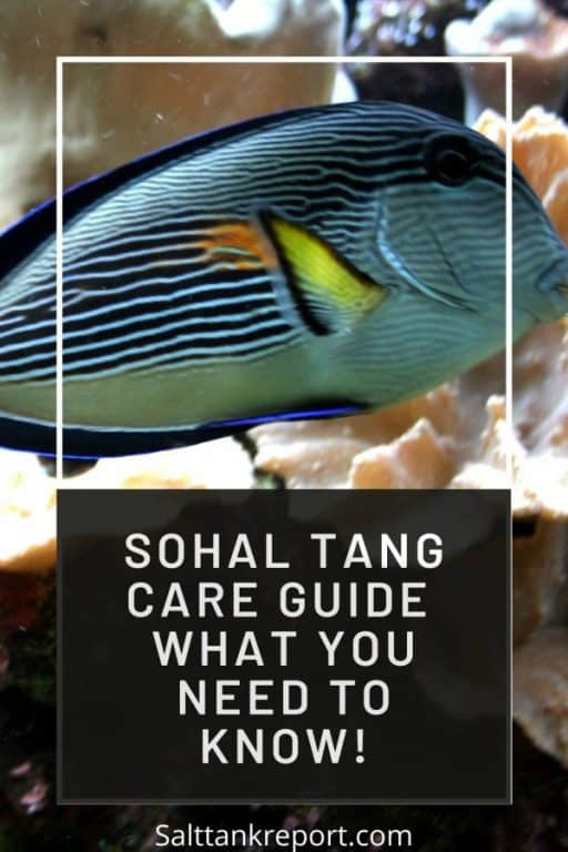 sohal tang care guide