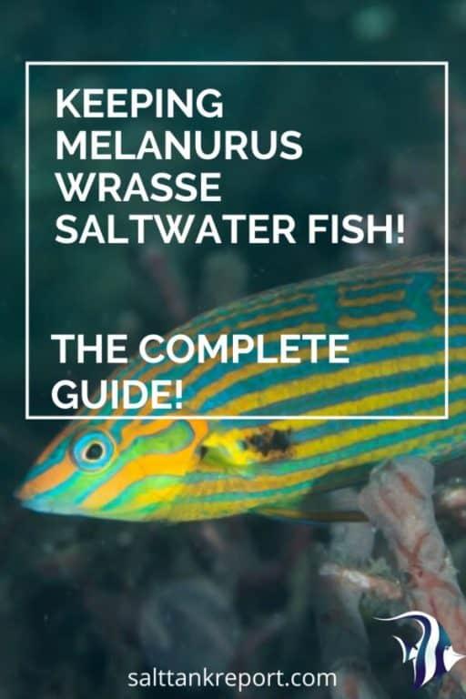 melanurus wrasse care guide