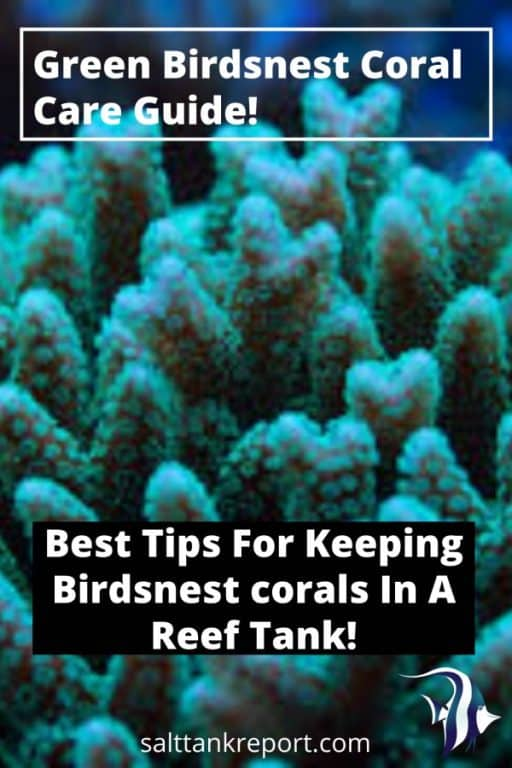 green birdsnest coral care