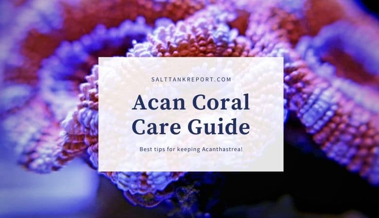 Acan coral care