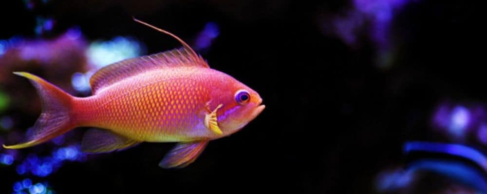 anthias schooling fish