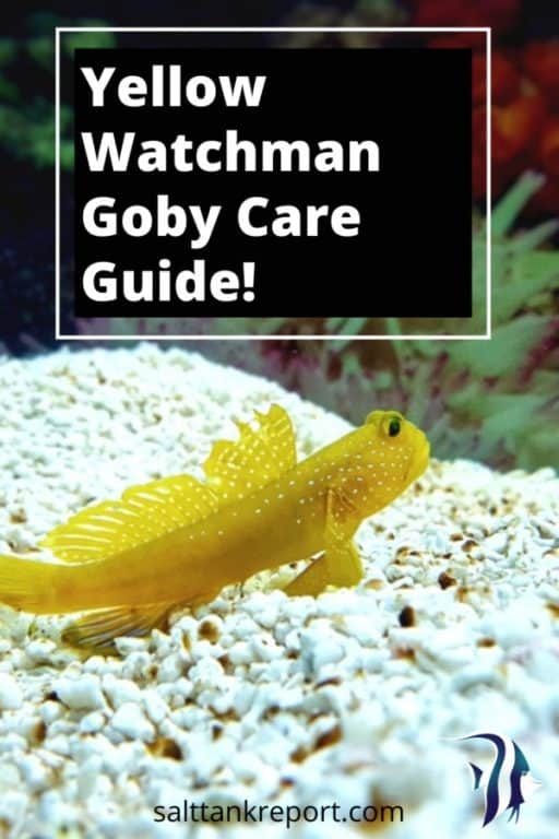 yellow watchman goby care