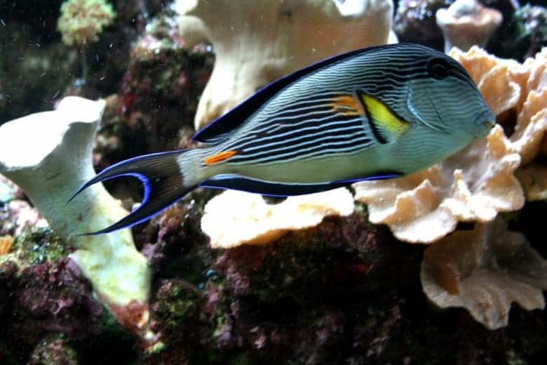 Large Reef Safe Fish (Your Corals Will Be Fine With These) 1