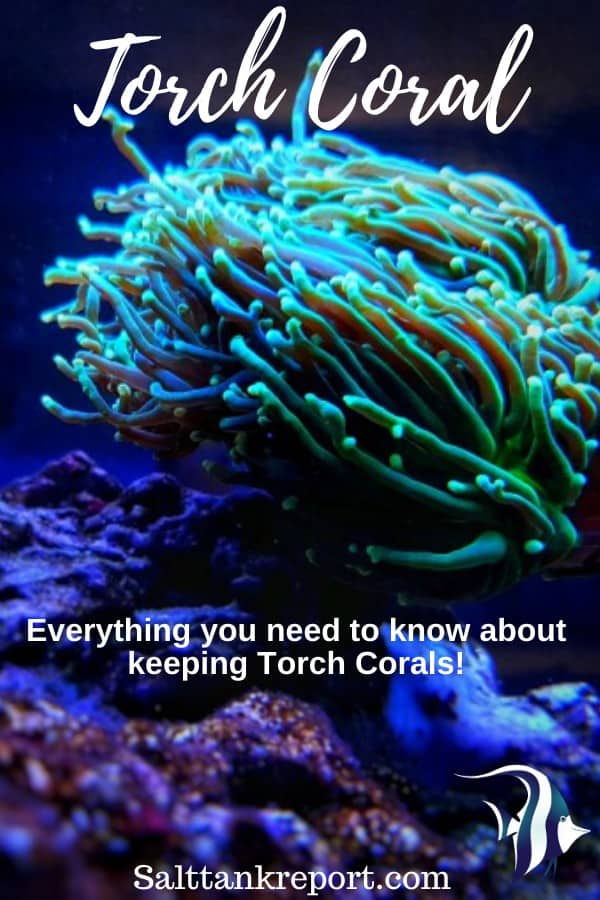 Torch Coral Care (Complete Guide) 1