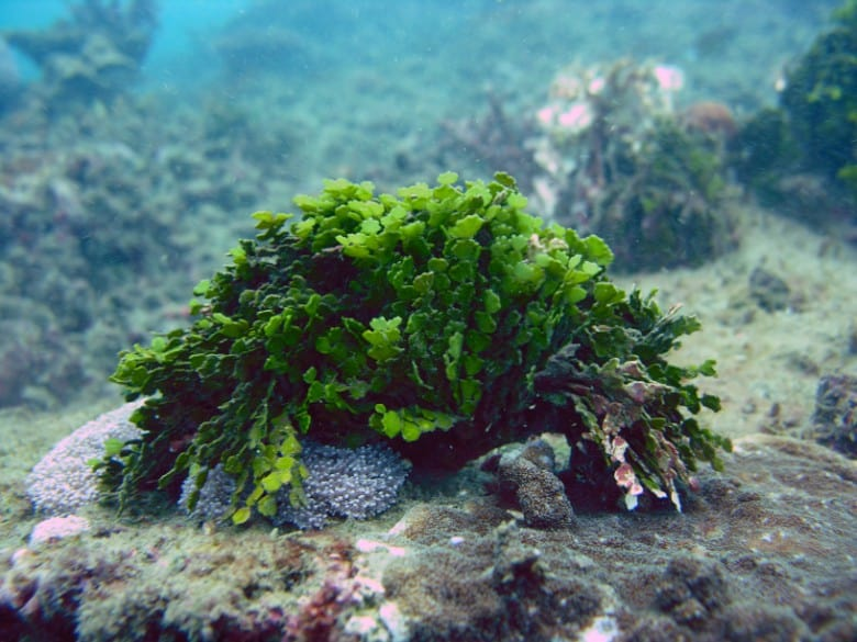 Best Macroalgae For Reef Tanks 10