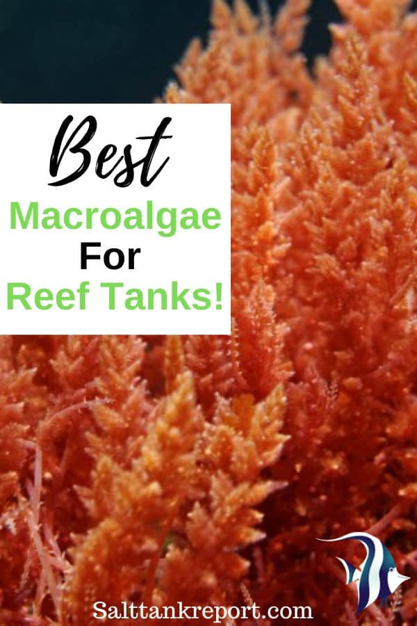 Best Macroalgae For Reef Tanks