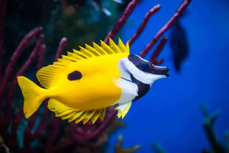 foxface rabbitfish spines