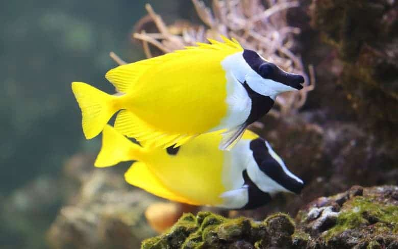 foxface rabbitfish pair