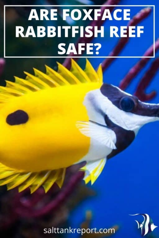 are foxface rabbitfish reef safe?