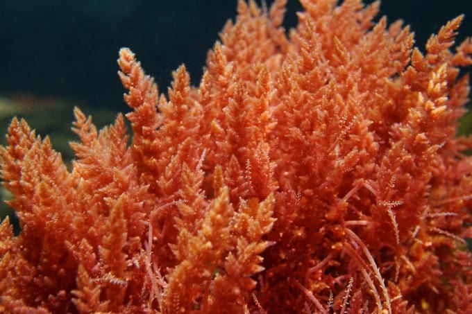 Best Macroalgae For Reef Tanks 1