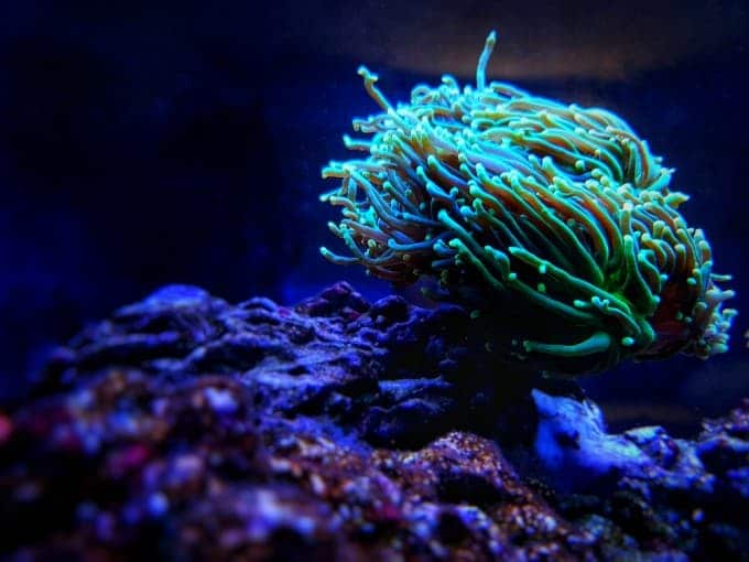 torch coral care guide