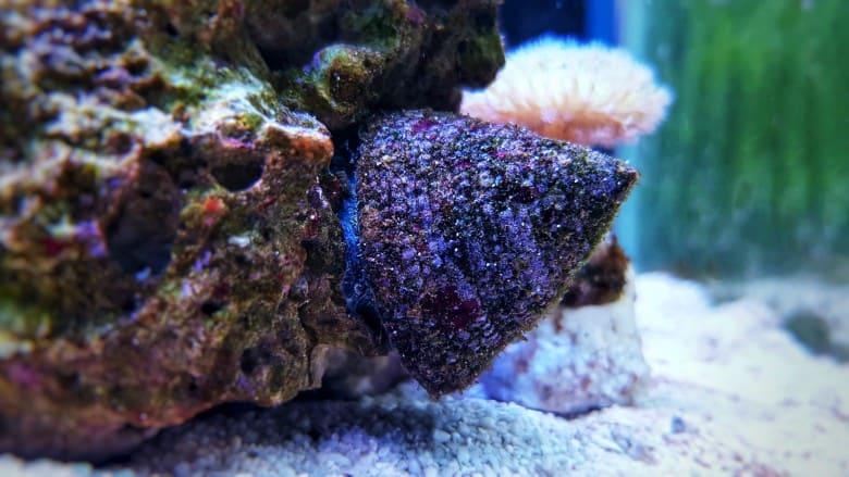 5 Amazing Algae Eaters For Saltwater Aquariums 3