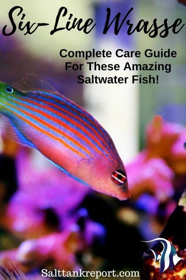 six line wrasse care