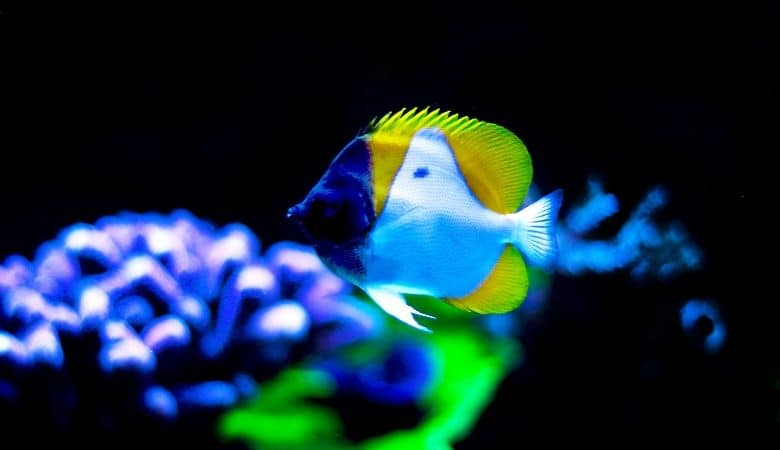 Reef Safe Butterflyfish 11