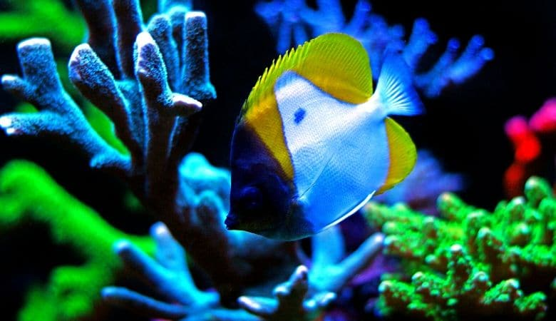 Reef Safe Butterflyfish 1