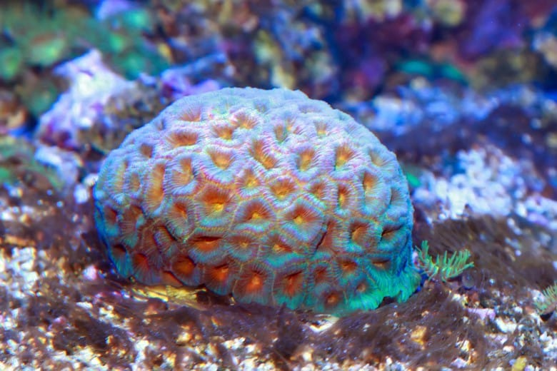 7 LPS Corals That Like High Light 3