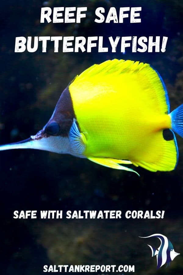 reef safe butterflyfish