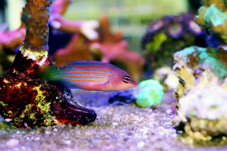 Six Line Wrasse (Complete Care Guide) 1