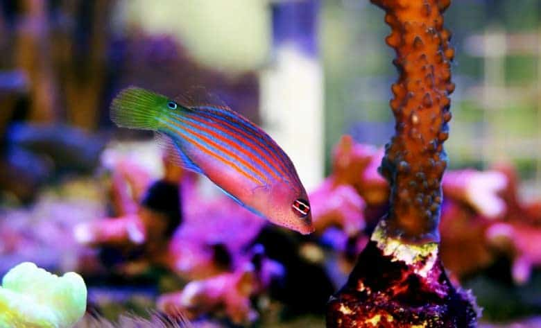 Six Line Wrasse (Complete Care Guide) 2