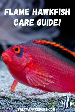 flame hawkfish care guide