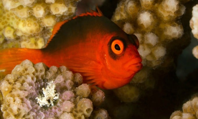 Flame Hawkfish Care Guide - Are They For You? 2