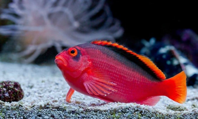 Flame Hawkfish Care Guide - Are They For You? 1