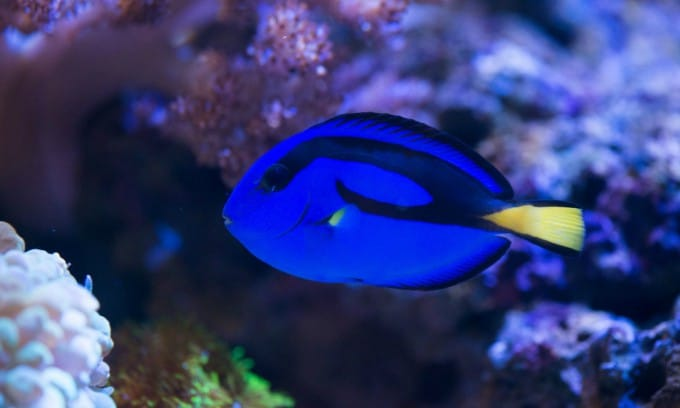 Large Reef Safe Fish (Your Corals Will Be Fine With These) 3