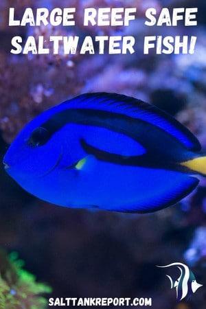 large reef safe fish