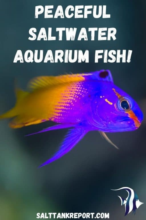 peaceful saltwater aquarium fish