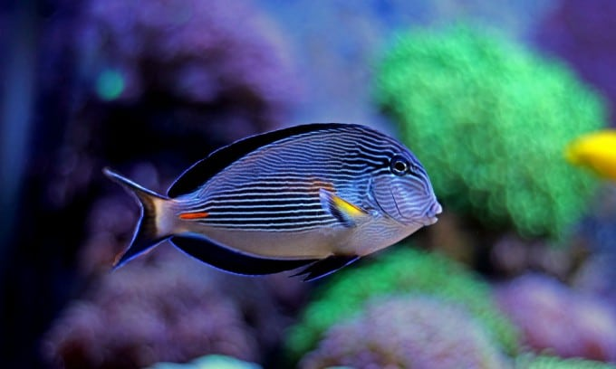 Large Reef Safe Fish (Your Corals Will Be Fine With These) 2