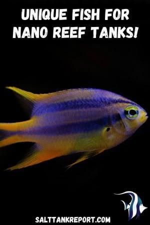 unique fish for nano reef tanks