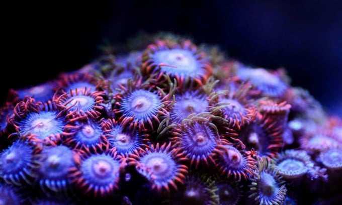 Zoanthids Not Opening? - Find Out Exactly Why 1