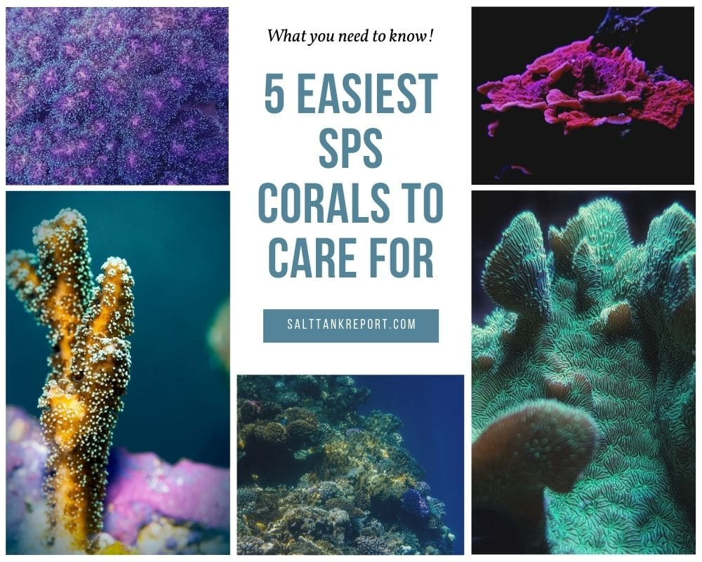easiest sps corals to care for