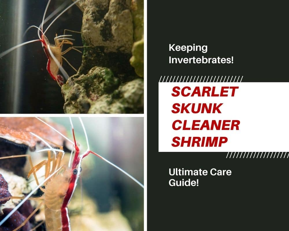 skunk cleaner shrimp care